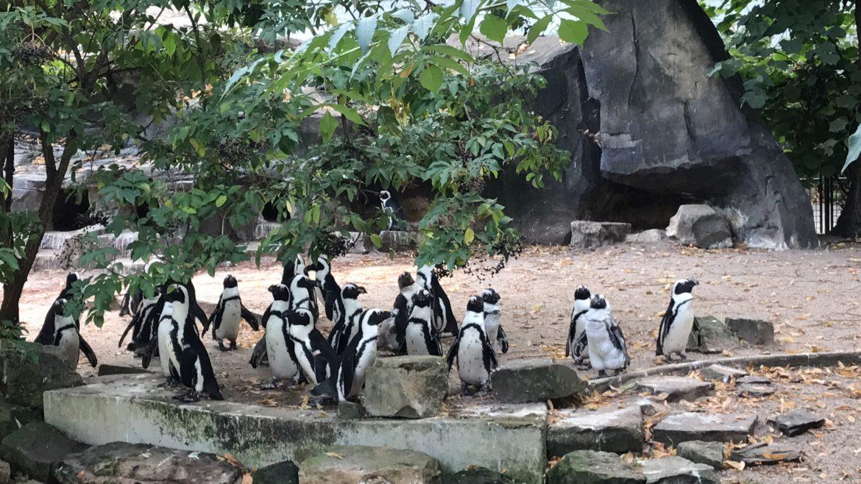 pinguins no Zoo Artis em Amsterdam